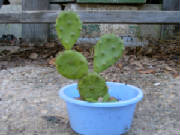3pricklypear.jpg